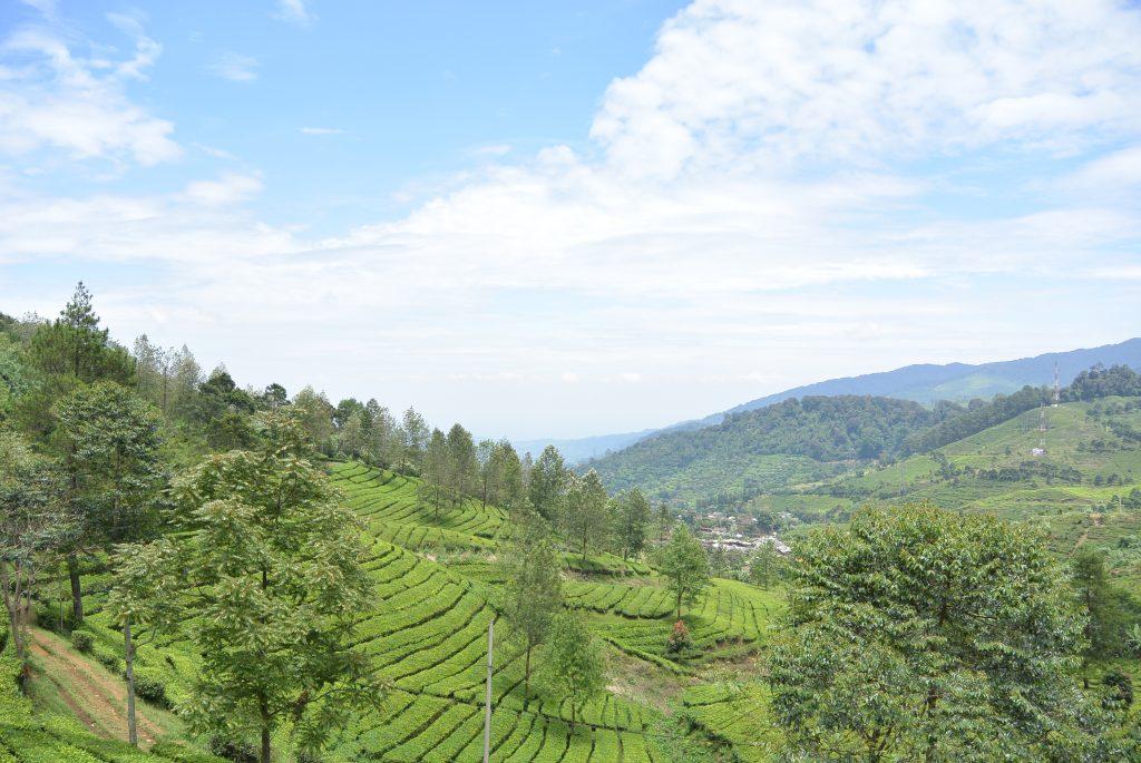 Theeplantages, nabij Bandung